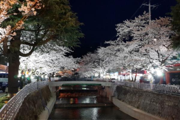 직지사 벚꽃길 경관조명 점등-도로철도과(사진1).jpg