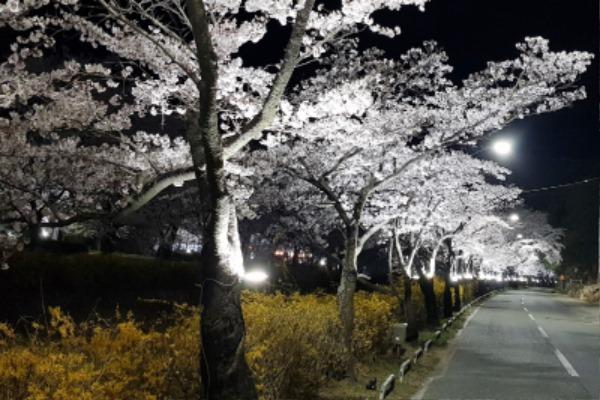 직지사 벚꽃길 경관조명 점등-도로철도과(사진3).jpg